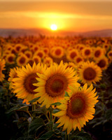 Sunflowers at sunset  13393